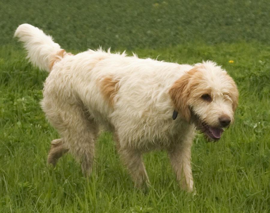Race de chien : Briquet griffon vendéen - Briquet griffon