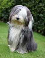 Collie barbu ou Bearded collie