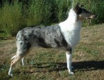 Collie Smooth - Smooth coated collie