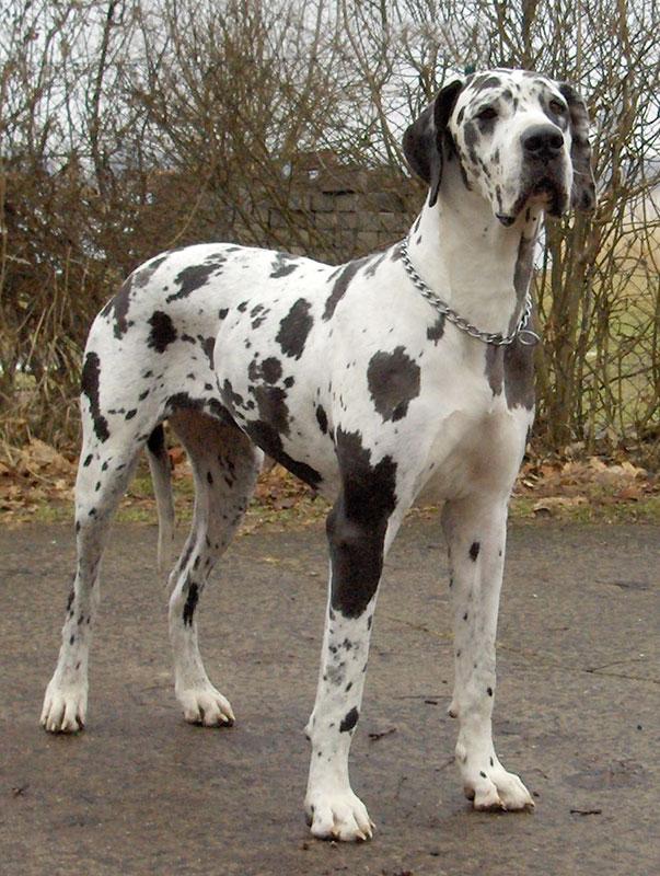 Race de chien : Dogue allemand - Deutsche Dogge - Chien