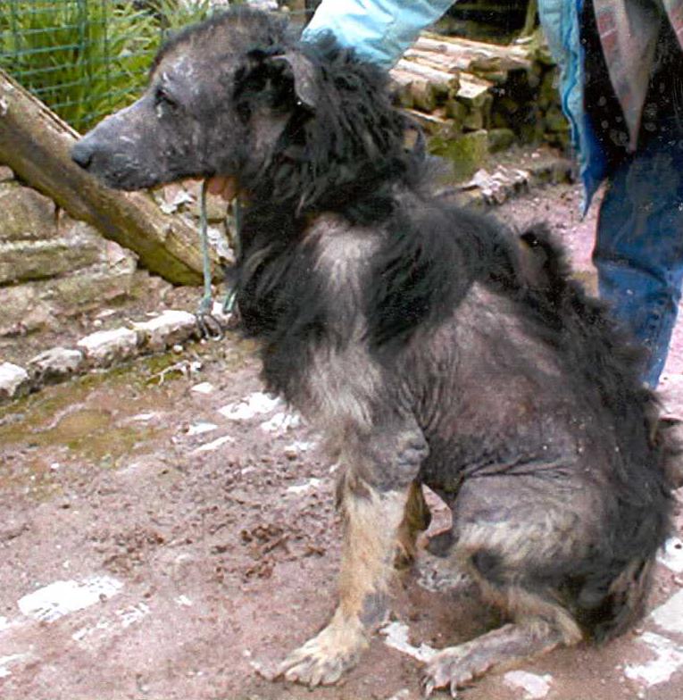 traitement gale chien